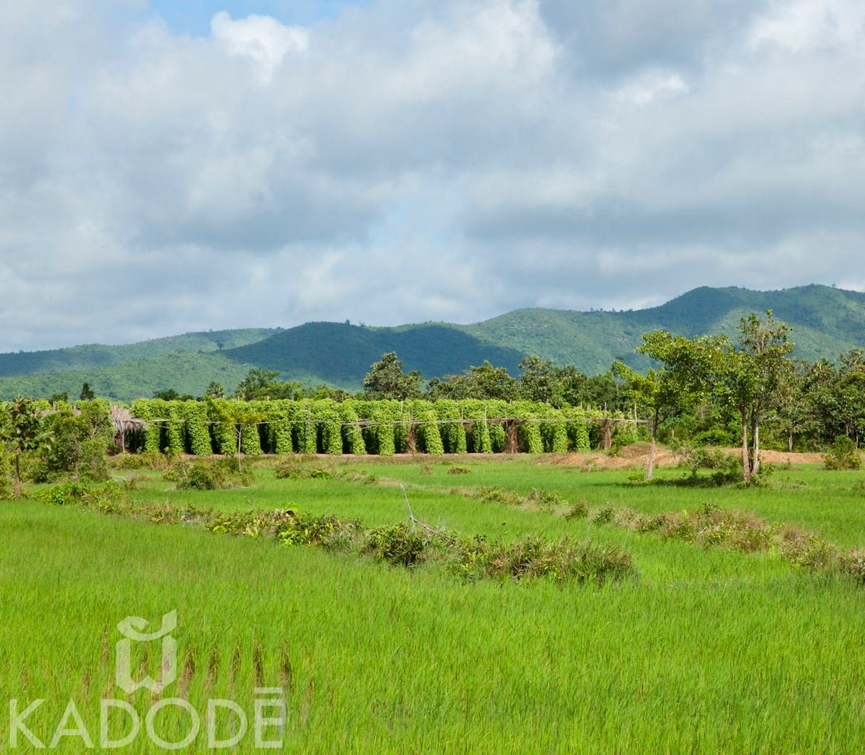 pepper plantation, kampot