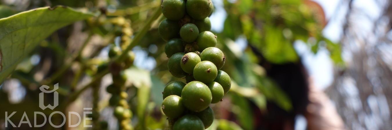 Grappe de poivre vert de Kampot