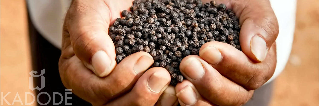 Black Kampot pepper in farmer's hands